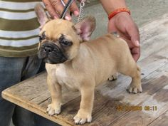 Our Homebreds - Forestlake Vonlex French Bulldogs