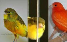 Seputar Burung Kenari Lengkap mulai dari jenis, harga sampai suara kicauannya