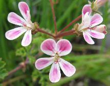 Pelargonium 'Mini Karmine'