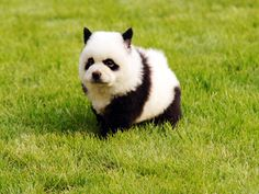 When the boyfriend is going to get you a chow chow puppy with patterns like a panda. You know he will be a keeper