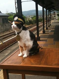 Tama was one of the world's most respected working cats. Before she passed away recently, this Calico held down a role as stationmaster at the Kishi Station in Wakayama, Japan. Cats And Kittens, Ragdoll Kittens, Tabby Cats, Funny Kittens, Bengal Cats, White Kittens, Adorable Kittens, Black Cats, Kitty Cats