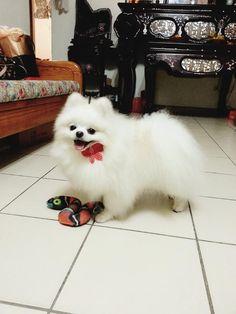 White Pomeranian - UMI
