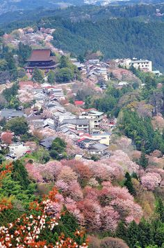 Sakura Cherry Blossom   Japon