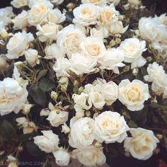 White Roses Summer Spring Flower Vintage Roses White Garden Gardening White  Roses@! Are Absolutely