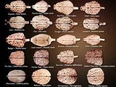Brains of different species ❤