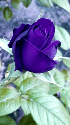 Beautiful Rose Flowers, Most Beautiful, Purple Roses, Violets, Sunflowers, Plants, Color, Beauty, Beautiful Love Quotes