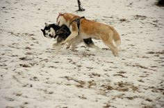 Husky friends in the snow (f: Yvette Wagener)