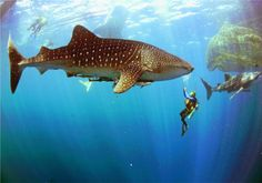 Whale sharks and divers / Cancun