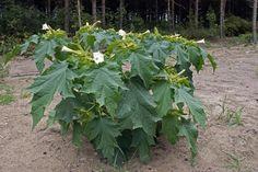 Weißer Stechapfel, Datura stramonium - Blütenpflanzen - NatureGate