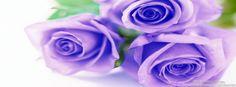 Purple rose timeline cover, roses timeline cover banner