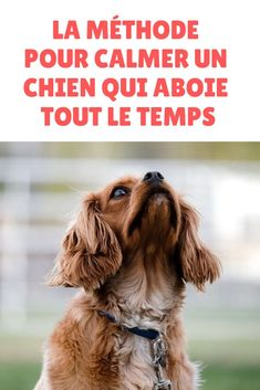 Votre chien ne cesse pas d'aboyer ? Découvrez la méthode pour calmer un chien … Does your dog keep barking? Discover the method to calm a dog that barks all the time! Put an end to your dog's barking and find calm at home!