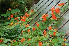 Capucine : bonne au jardin... et en salade © F. Marre - Rustica - Parc Floral de la Source