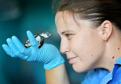 Jan. 15, 2014: Reef HQ staff member Krystal Huff gets a close-up look at a baby flatback sea turtle in Townsville, Australia, on Jan. 13. The hatchling is the latest of several hurt by cars along a busy seaside strip known as the The Strand. Local council & wildlife care groups are pressing the government to install special LED streetlights that won't lure the turtles to the road.