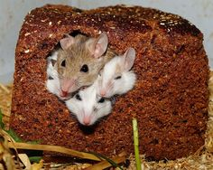 Free Image on Pixabay - Mastomys, Mice, Nager, Rodents Keep Mice Away, How To Deter Mice, Getting Rid Of Mice, Causes Of Back Pain, Pet Rats, Rodents, Food Storage, Produce Storage, Rv Storage