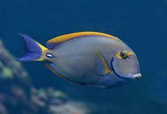 Eyestriped Surgeonfish or Dussumieri Tang -  Distinguished from closely related species by the yellow stripes across its eyes and wavy longitudinal blue lines across its head and body. This fish has the ability to change its colours to display mood or in response to threats.