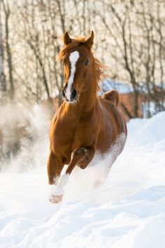 Dashing Through the SnowCredit: Makarova Viktoria (Vikarus) | shutterstock  The Arabian stallion originated from the arid desert climate of the Arabian Peninsula. Even so, the horses are now found around the world and can handle living in cold weather.