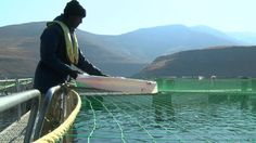 Trout farming in land-locked Lesotho is an export success