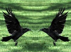 Black birds (in general) are archetypes of living life in higher realms, and are symbolic of:  Higher Intelligence Higher Thought Higher Ideals