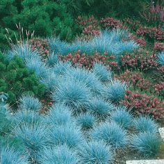 Blue fescue is another good choice for grasses used as groundcovers, that are drought tolerant.