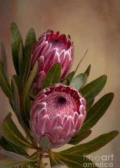 Pink Protea Proteaceae Flower Greeting Card for Sale by Leah-Anne Thompson Pink Protea flower by Lea Exotic Flowers, Tropical Flowers, Amazing Flowers, Flowers In Hair, Beautiful Flowers, Beautiful Beautiful, Photos Of Flowers, Unique Flowers, Flor Protea