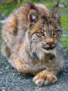 Wild Lynx, Alaska by JLS Photography