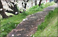 Cherry Blossom Shower | Flickr - Photo Sharing!