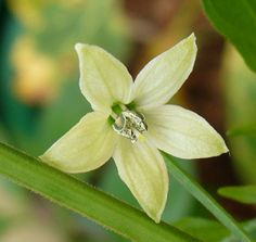 BHUT JOLOKIA flower