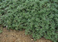 Thymus pseudolanuginosus is cultivated as an ornamental plant. It is often grown as agroundcover, where it can form extensive low mats. It is also used in rock gardens Texas Gardening, Organic Gardening, Wooly Thyme, Fairy Garden Plants, Fairy Gardens, Silver Carpet, Creeping Thyme, Best Perennials, Miniature Plants
