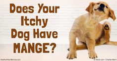 If your dog pal is insanely itchy and his skin is inflamed, he might have one of two types of mange: demodectic or sarcoptic. http://healthypets.mercola.com/sites/healthypets/archive/2016/09/28/dog-mange.aspx