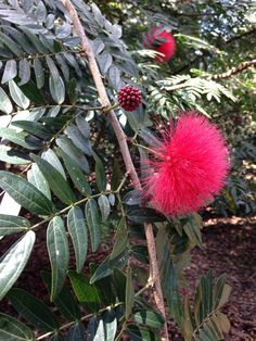 Red Powder Puff Tree (calliandra haematocephala): Your plant may be the beautiful tropical tree or shrub, C. haematocephala, an evergreen with seasonal powder puff-like flowers in spring-summer in hues typically of red or pink. Foliage is dark green, bipinnate compound elongated and dark green. Needs full sun and regular water. Flower buds resemble raspberries. Does well in full sun and moderate to regular water.