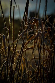 Early Morning Sun on frozen Reeds - Early morning sun catches the frozen reeds beside Orrtuvatnet, Bergen, Norway, January Morning Sun, Early Morning, Bergen, Norway, Nature Photography, Frozen, Cold, January 2016, Beautiful