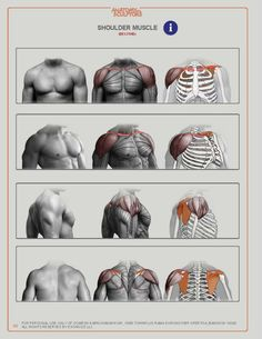 Drawing Human Figure Anatomy for Sculptors, Understanding the Human Figure - How To Draw Library: - Drawing Male Anatomy, Anatomy Sketches, Anatomy Study, Anatomy Art, Figure Drawing Tutorial, Human Figure Drawing, Figure Drawing Reference, Anatomy Reference, Body Reference