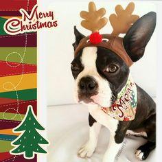 18 weeks I hope Santa gives me the job!  Good morning FURriends  Thank you @xtremecaution  for my lovely bandana  #clf27 #flatnosedogsociety #bostonterrierlove #naturaldogcompany #bostonterrier_feature #bostonterriersoverload #mydogiscutest #bostonsofinstagram #squishyfacecrew #lacyandpaws #littlerocky #rocky #shortsnouts #BarkleyThePomSquad #btcult #bostonterrier #bostonpups #bostonterriers #bostonpuppy #bostonpuppies #bostonterrierlove #bostonlove #bostonterriersofinstagram…
