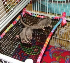 Suz Sugar Gliders No Sew Accessories Information on Sugar Gliders their Joeys and how to care for them by a Sugar Glider Breeder - 28 Awesome Diy Sugar Glider Cage Ideas Sugar Glider Care, Sugar Glider Pouch, Sugar Glider Toys, Sugar Gliders, Hamsters, Gerbil, Rata Dumbo, Rat Hammock, Rat Cage