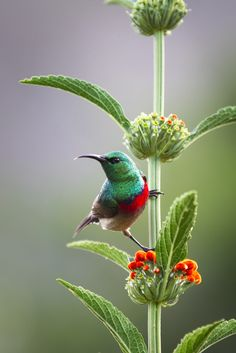 I believe this to be an African bird, a sunbird, not a hummingbird. I think (not positive) it is a Lesser Double-Collared Sunbird**********Hummingbird Pretty Birds, Love Birds, Beautiful Birds, Animals Beautiful, Cute Animals, Wild Animals, Beautiful Gorgeous, Pretty Flowers, Exotic Birds