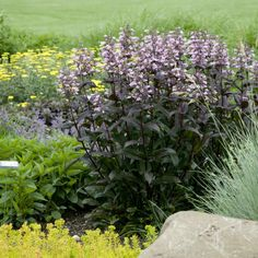Dark Towers Penstemon (Beardtongue) blooms in late spring with large, light pink flowers that are held over wine-red foliage. House Landscape, Landscape Design, Light Pink Flowers, Pretty Flowers, Gothic Garden, Tower Garden, Border Plants, Hardy Perennials, Ornamental Grasses