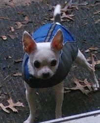 Pippin is an adoptable Chihuahua Dog in Bridgewater, NJ. Pippin is a 5-8 yr old Chihuahua. He was surrendered by his owner because they could no longer care for him. He is a bit fearful with strangers...