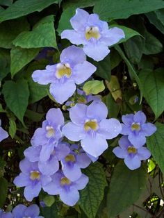 Image result for thunbergia grandiflora. an evergreen fast growing vine.