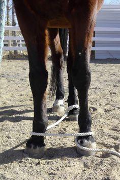 Endurance Horse Training Basics Part Hobble Training Preparation Horse Training Tips, Horse Tips, Rope Training, Horse Exercises, Westerns, Types Of Horses, All About Horses, All The Pretty Horses, Horse Barns