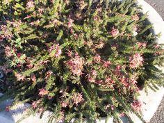 Grevillea lanigera Mt Tamboritha form