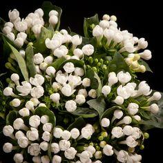 Certi Bouvardia Sparkles, wit, bloemen, boeket, Certi #Bloemen, #Planten, #webshop, #online bestellen, #rozen, #kamerplanten, #tuinplanten, #bloeiende planten, #snijbloemen, #boeketten, #verzorgingsproducten, #orchideeën