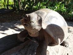 The Annual Aldabra Giant Tortoise census has commenced at our GVI Seychelles hub! Giant Tortoise, Personal And Professional Development, Wildlife Conservation, Seychelles, National Parks, Animals, Animales, Animaux, Animal