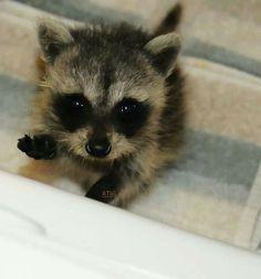 cool Baby raccoon as a pet? Hmm......