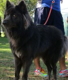 Southern Breeze Kennels Blue Bay Shepherds in Palm Bay Florida                                                                                                                                                                                 More