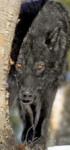 beauté Einsamer Wolf, Wolf Love, Lone Wolf, Wolf Images, Wolf Pictures, Animal Pictures, Coyotes, Beautiful Wolves, Beautiful Eyes