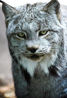 Canadian Lynx (Lynx canadensis) are found throughout Canada and Alaska, in parts of the northwestern states and Colorado, and near the Canadian border in Minnesota and Maine.  -kc