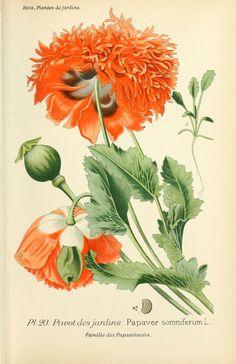 img/dessins plantes et fleurs jardins et appartements/dessin de fleur de jardin 0049 pavot des jardins - papaver somniferum.jpg