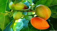 usuma fruit images wallpaper