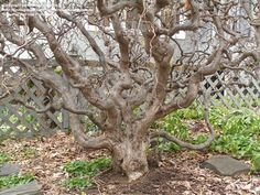Corkscrew Hazel, Contorted Filbert, Harry Lauder's Walking Stick Tree