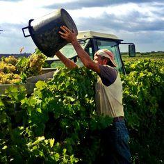 ...into the truck #vendemmia2013 #grecanico #settesoli #vinobianco #harvest #sicily